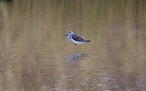 greenshank cliffe 027