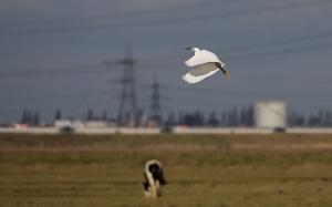 little egret 066