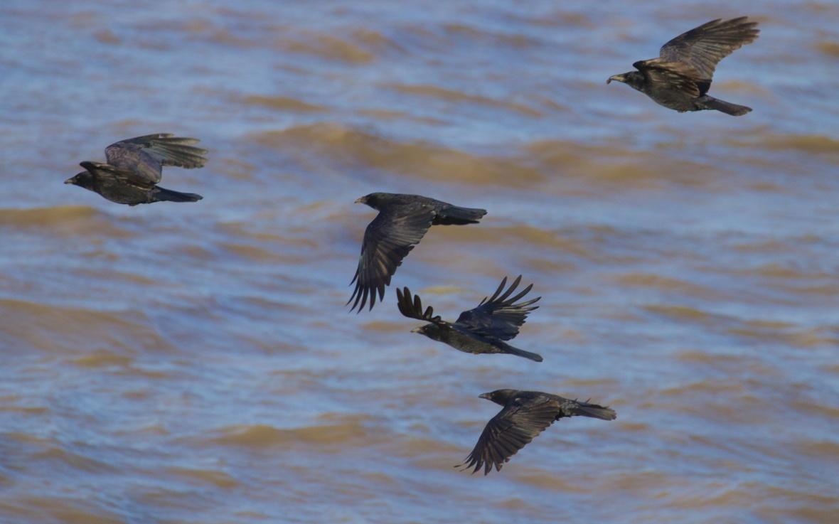 murder of crows 070