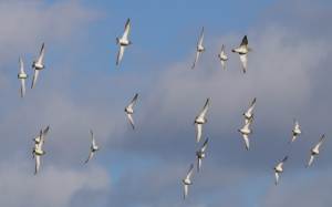 plovers 063