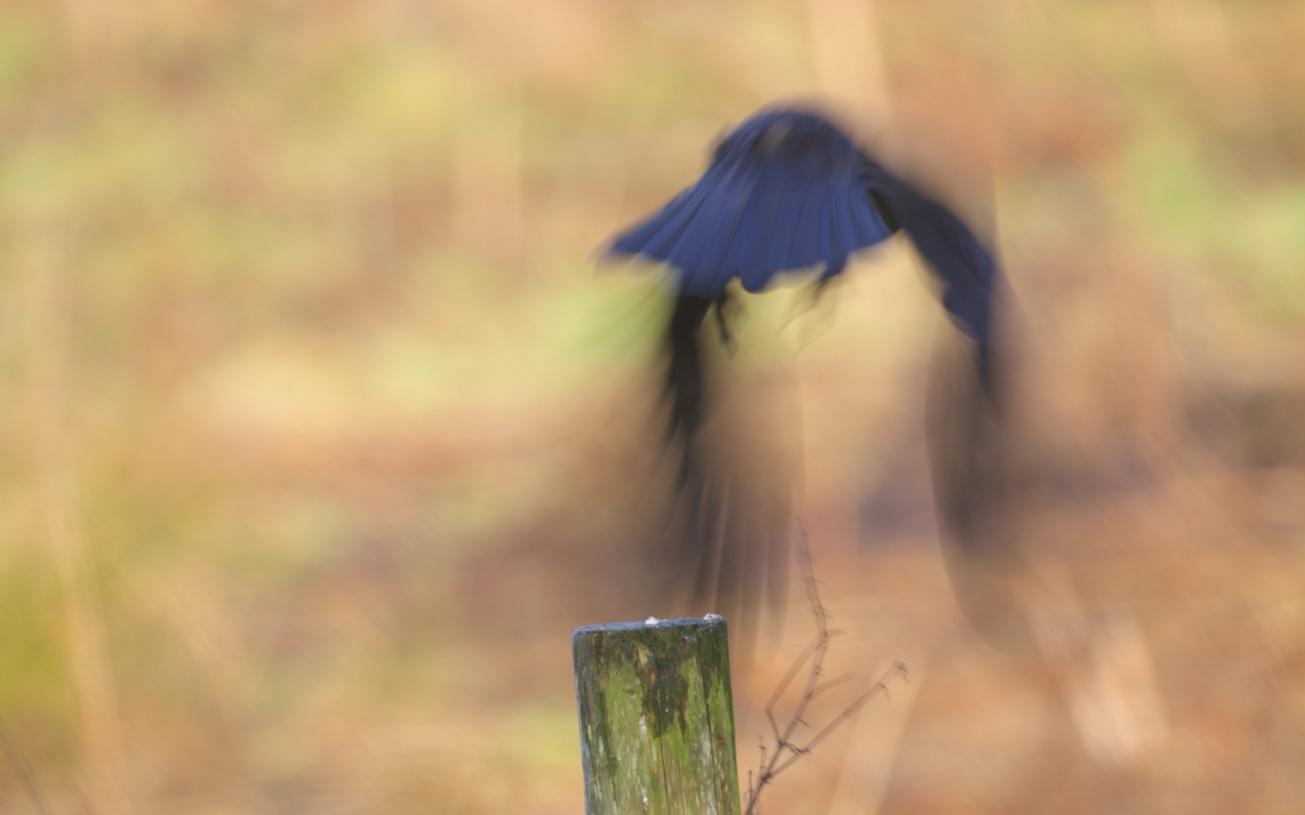 strathpeffer crow 209