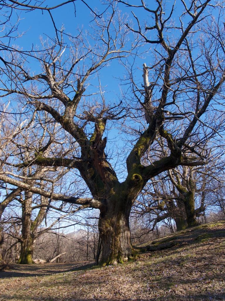 chestnut 266