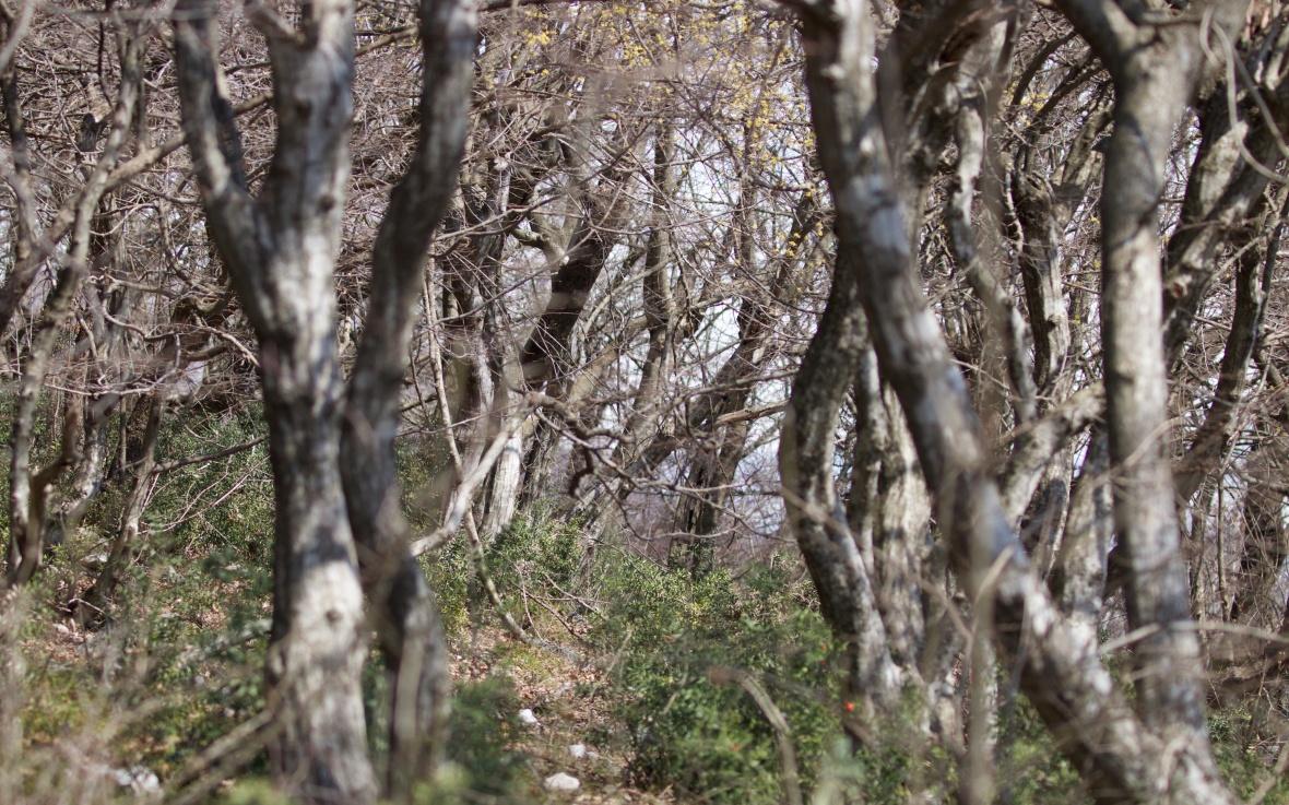 rumija oak 255