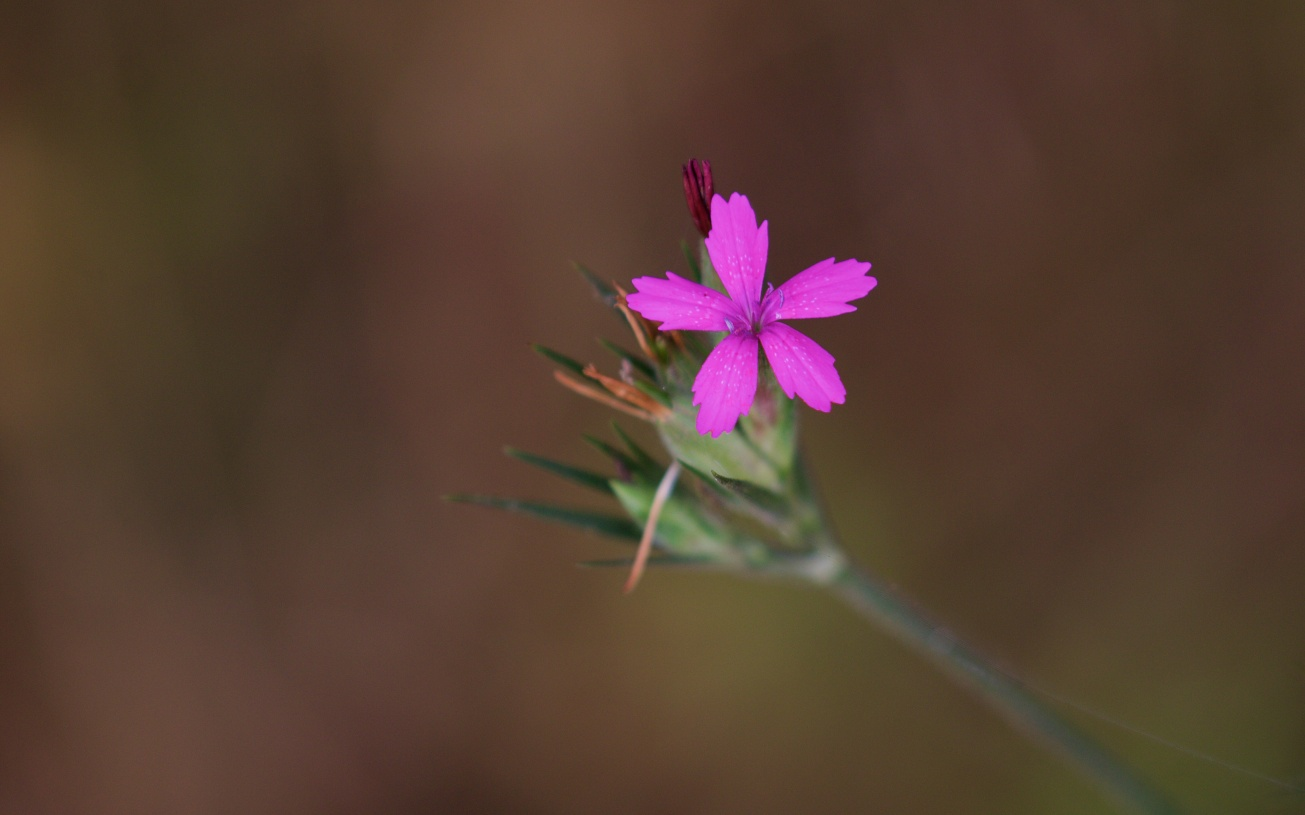 Deptford Pink 540