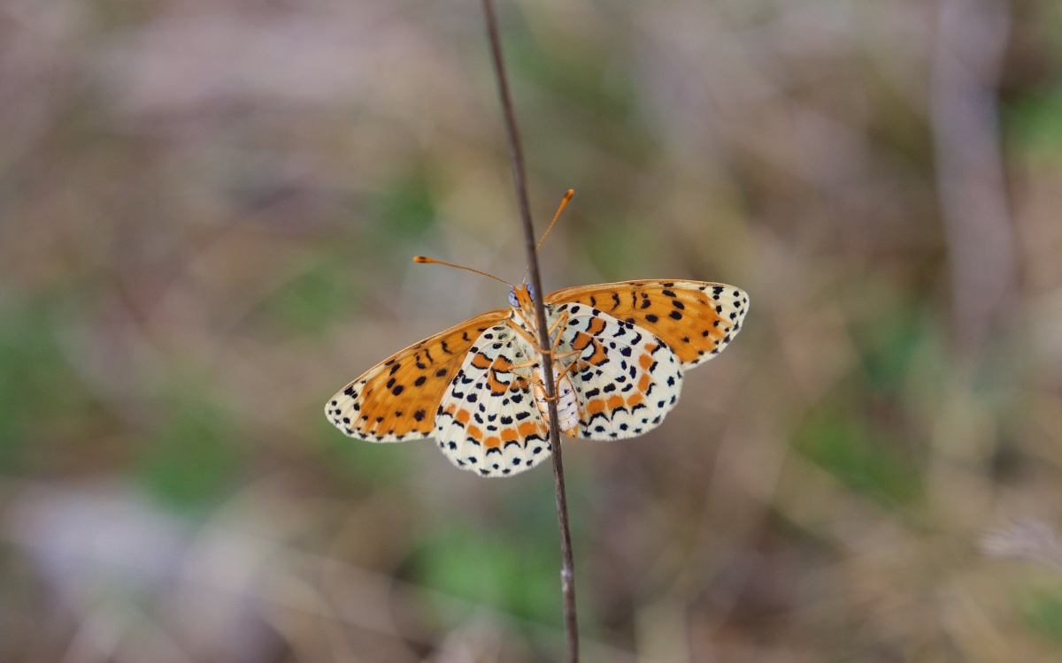 South Charente and North Dordogne Fritillaries