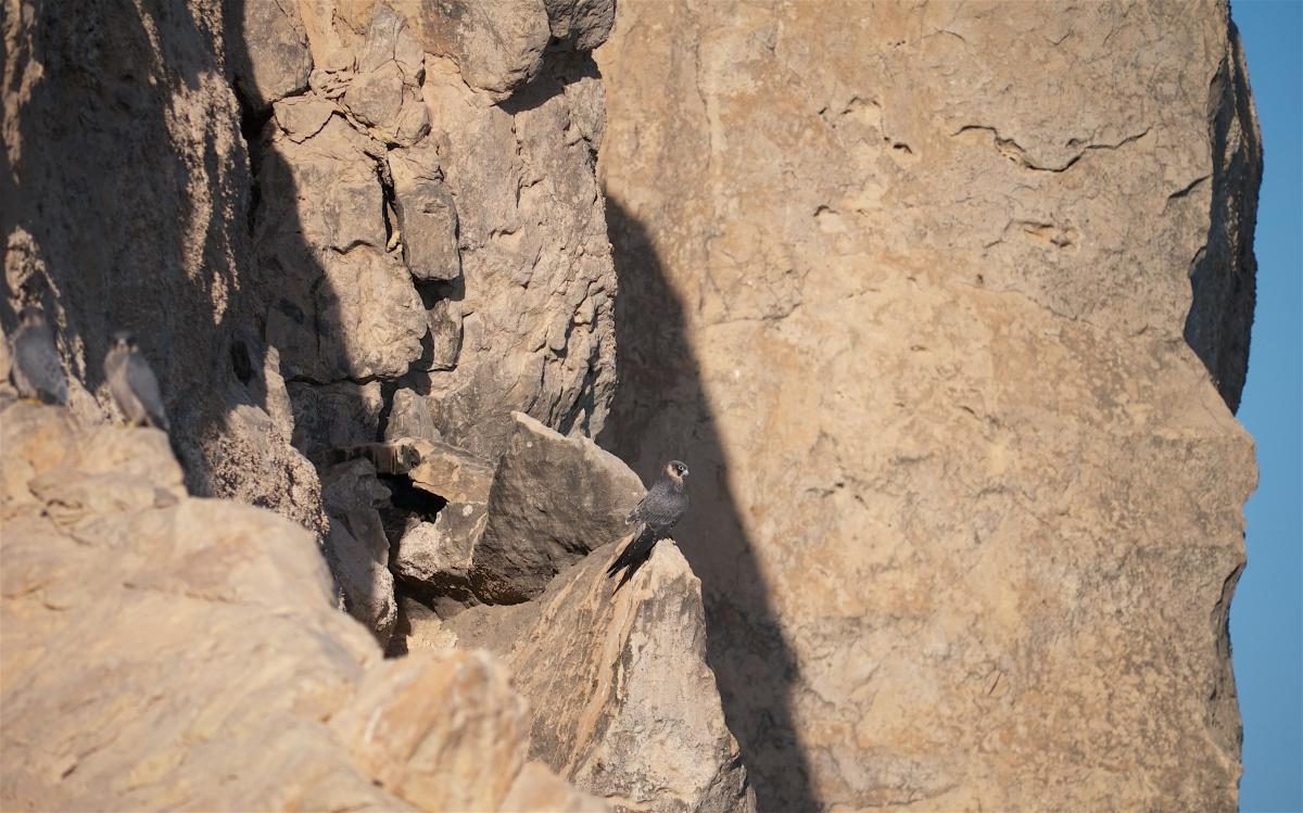 Ras Al Sawadi's Sooty Falcons