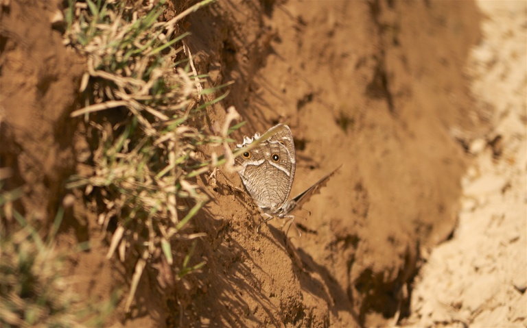 sayq w-edged rock brown 974