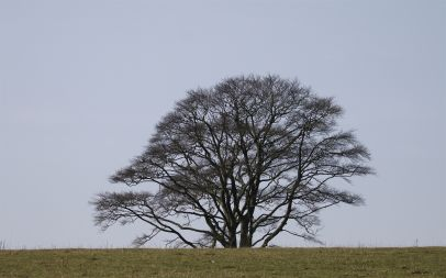 Beech half-filled with starlings