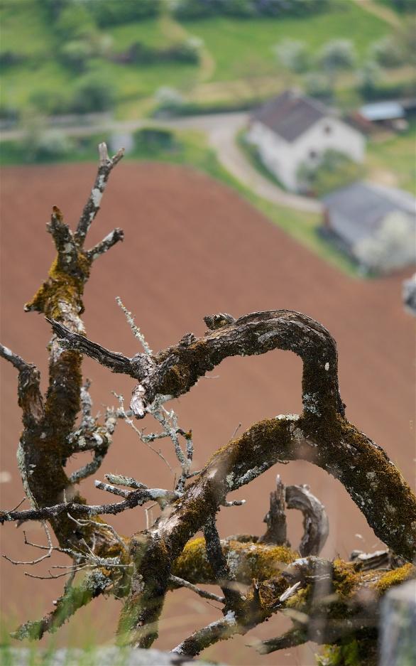 Old tree against freshly tilled fields, Brengues