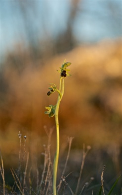 Early spider orchid