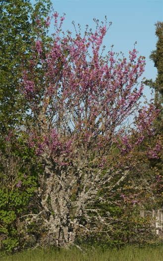 Lichen-encrusted fruit tree