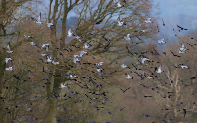 Stock doves, jackdaws, rooks and crows wheel over the fallow