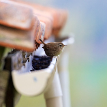 Wren prospecting for a nest site