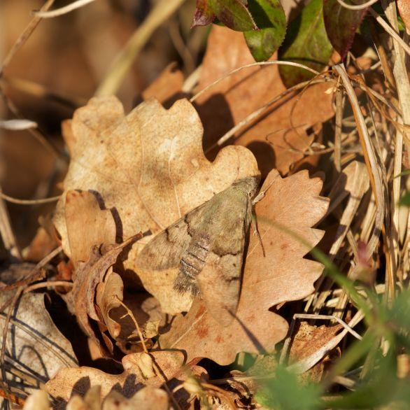 Hummingbird hawk moth hiding in plain sight in the evening sun