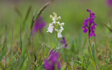 An uncommon white form of green-winged orchid, where the green 'wings' or lateral sepals are much clearer than on the purple form