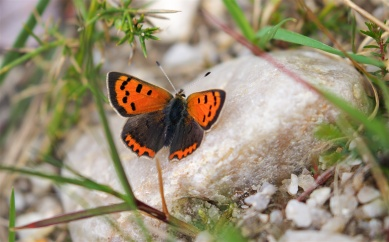 Small copper