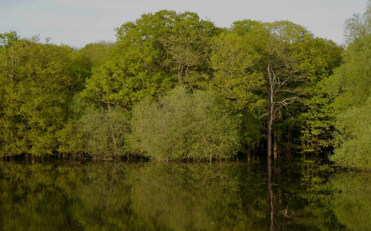 The heronry oaks bordered by willow