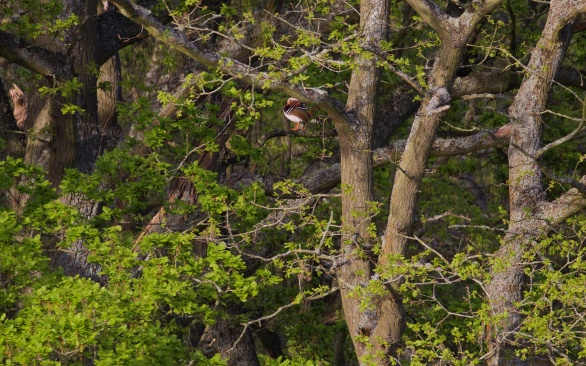 Mandarin drake perched in the woodland