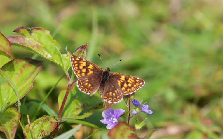 Duke of Burgundy on germander speedwell