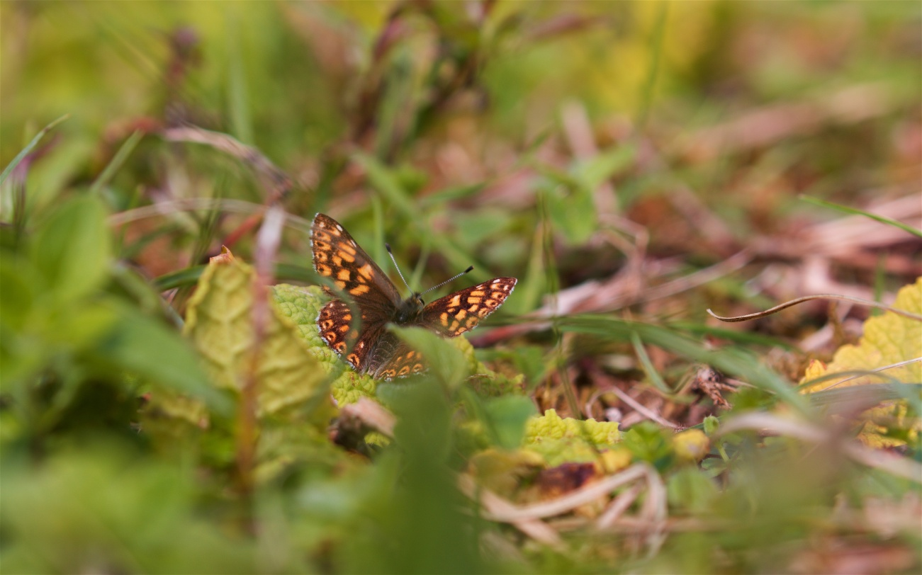 Duke of Burgundy on its larval food plant primrose