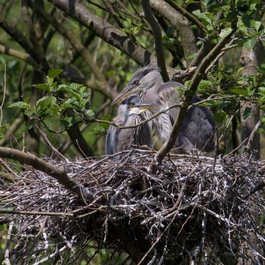 Young grey herons