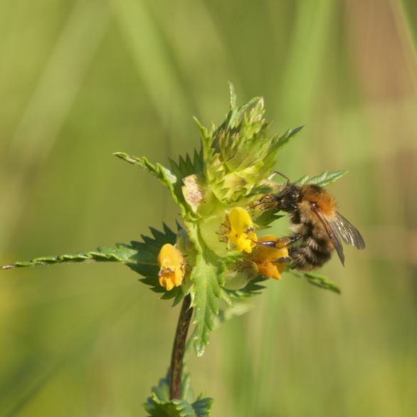 Common carder bee on yellow rattle