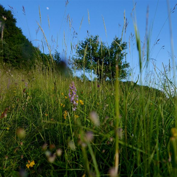 Fragrant orchid in the downland sward