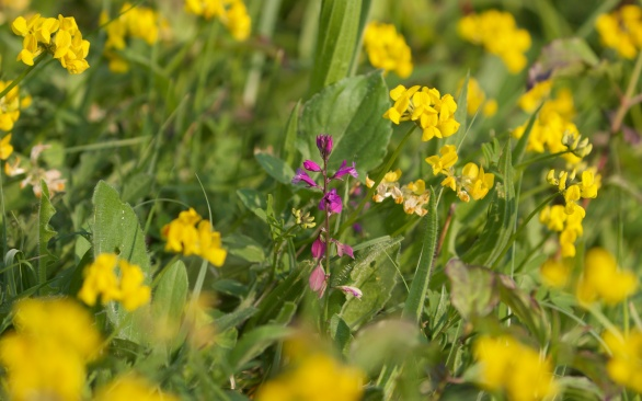 Milkwort among bird's foot trefoil