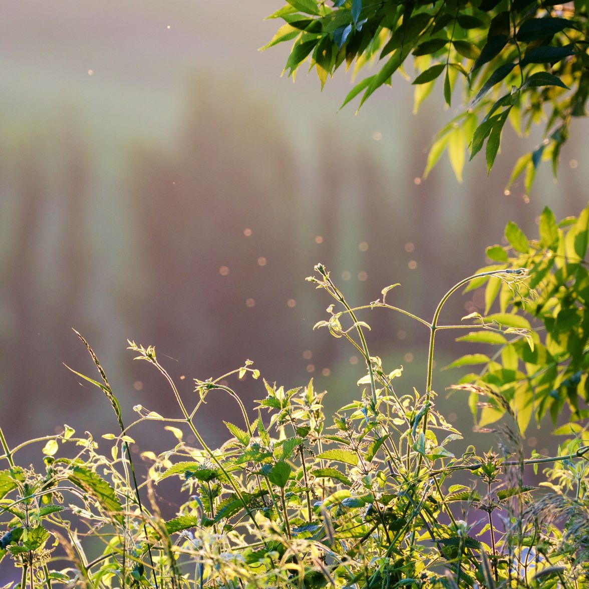 Evening light: clematis and ash