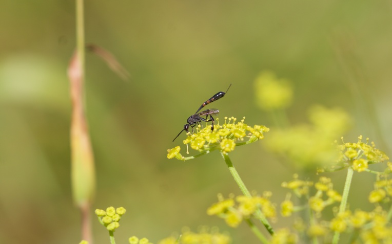 Ichneumon on wild parsnip