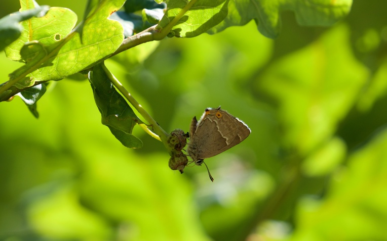 Another purple hairstreak on oak