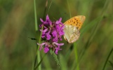 Silver-washed fritillary on betony
