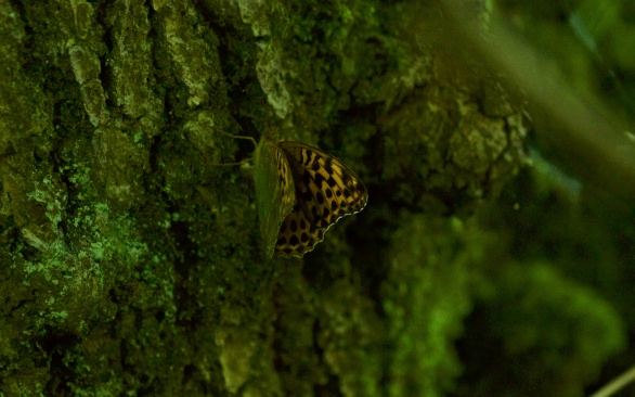 Silver-washed fritillary egg laying on an oak tree