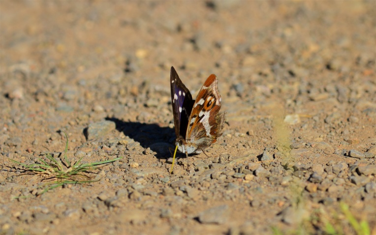 Male purple emperor on the path