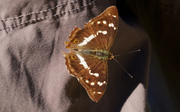 Male purple emperor on a cotton trouser leg