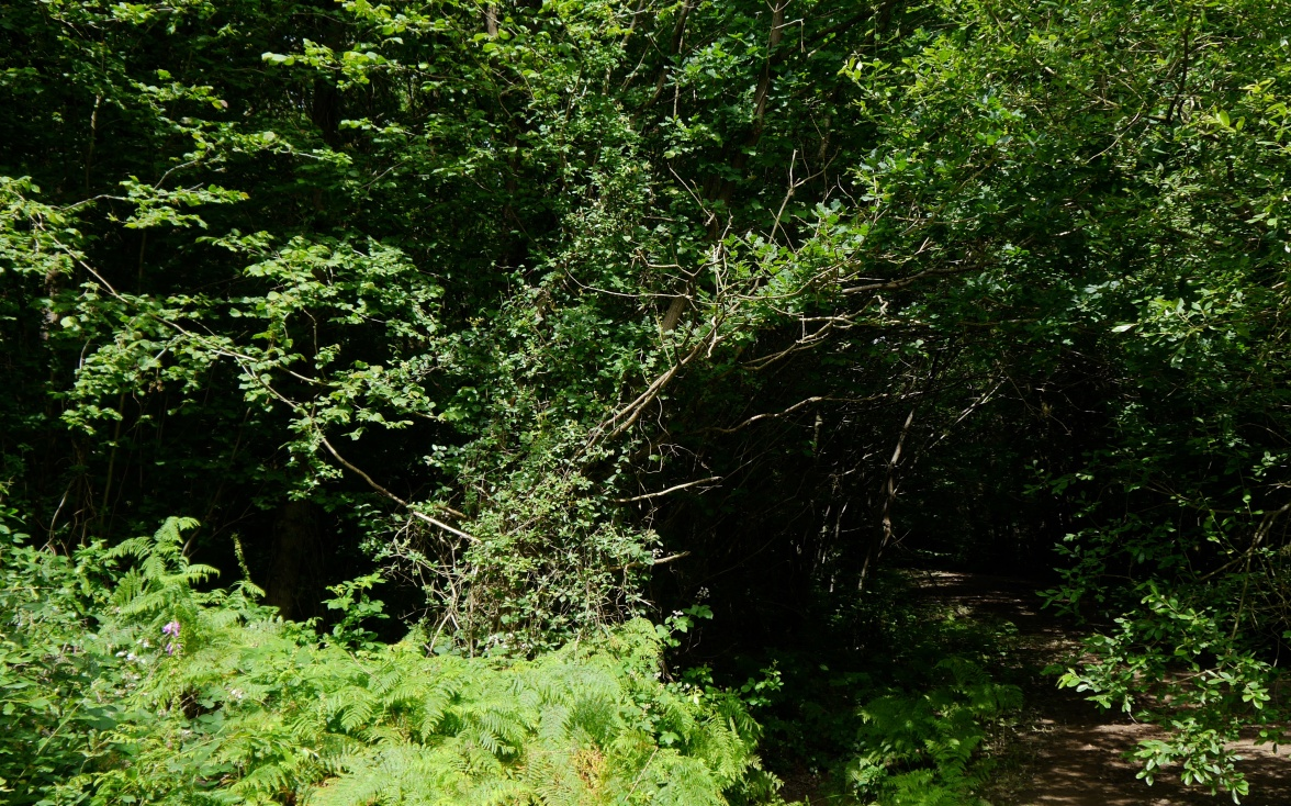 A sunny glade deep within the oaks with honeysuckle and bracken