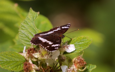 White admiral butterfly nectaring on bramble