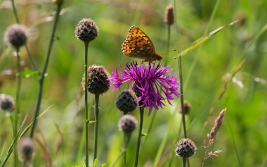 Dark green fritillary 4