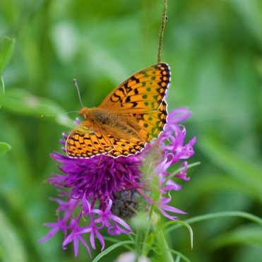 Dark green fritillary 3