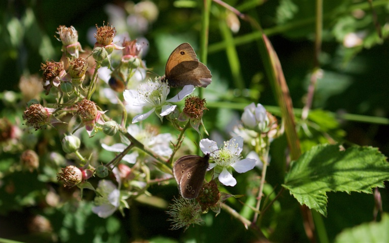 Meadow brown and ringlet on bramble