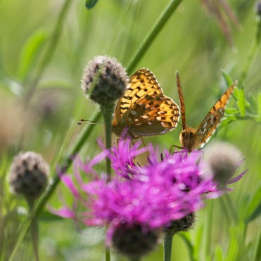 Dark green fritillary 2