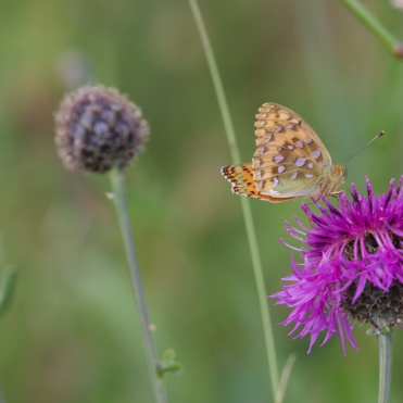 Dark green fritillary 1