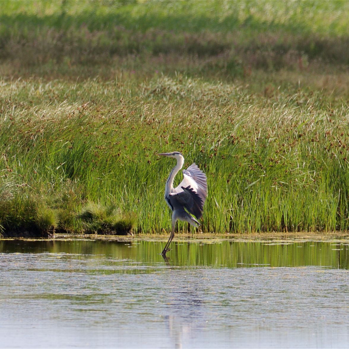 Grey heron landing on the East Flood