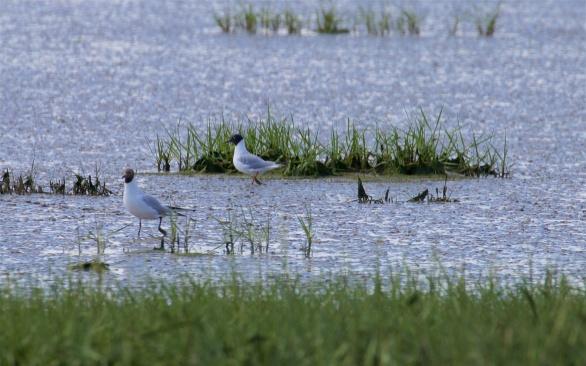 Bonaparte's gull behind a black-headed gull