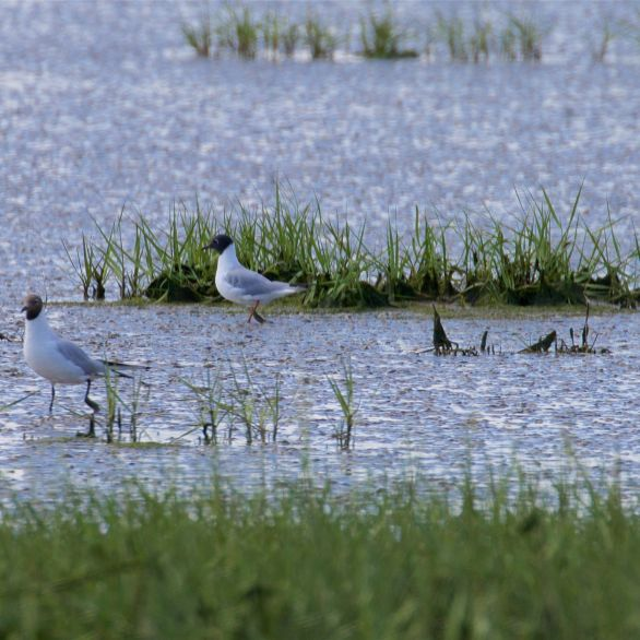 Bonaparte's gull behind a black-headed gull