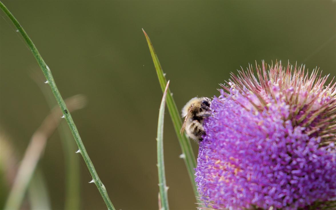 Carder bee on teasel