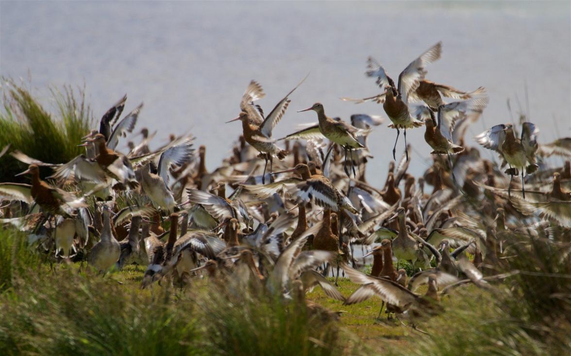 Black-tailed godwit flock 1