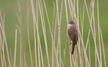 Singing reed warbler, May 28th, 2016