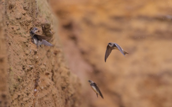 Suffolk sand martins 1