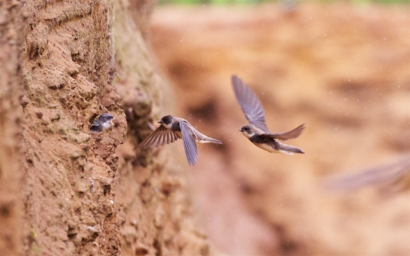 Suffolk sand martins 4
